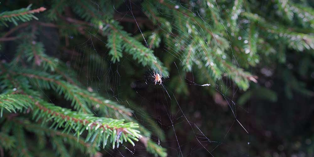 Spider in a Christmas tree